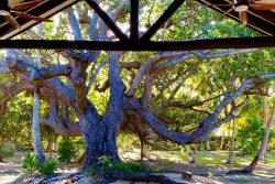 coconut-beach-resort-grounds-Dilo-tree-sacred-gift