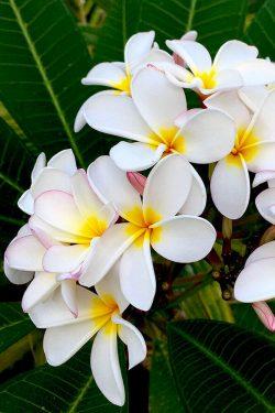 coconut-beach-resort-grounds-frangapani
