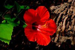 coconut-beach-resort-grounds-hibiscus